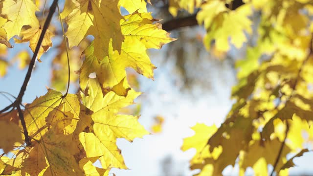yellow maple leaves.  close-up. - swaying stock videos & royalty-free footage