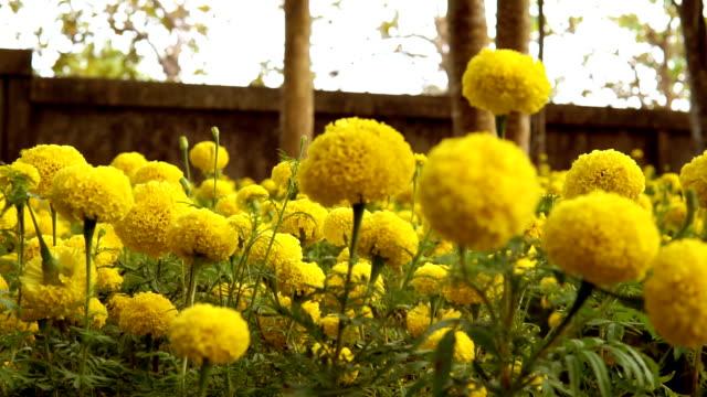 Gele Goudsbloem bloemen ter ere van koning Bhumibol Adulyadej