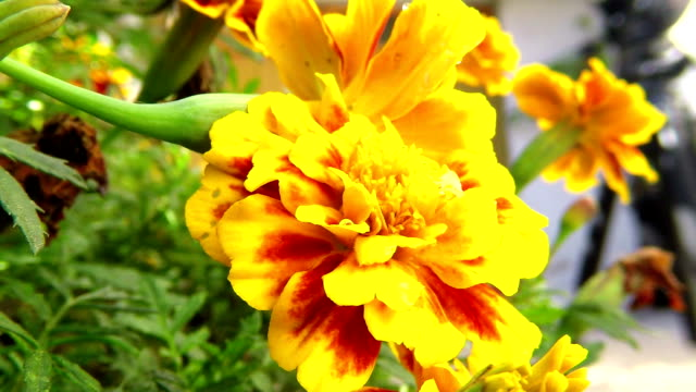 yellow marigold flowers - homeopathic medicine stock videos & royalty-free footage
