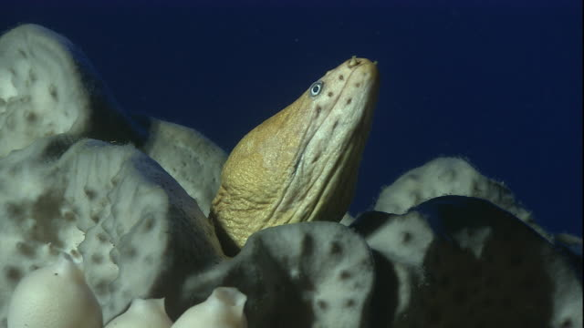 a yellow moray eel peeks out from a group of sponges. available in hd. - animals in the wild stock-videos und b-roll-filmmaterial