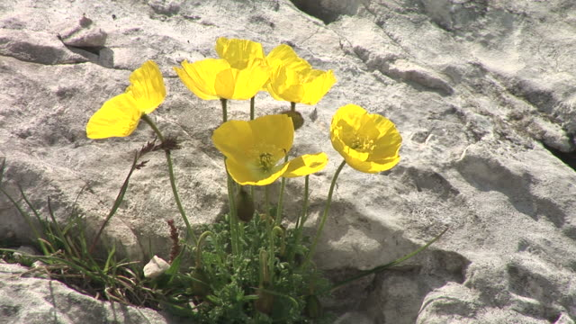 HD: Yellow mountain flowers