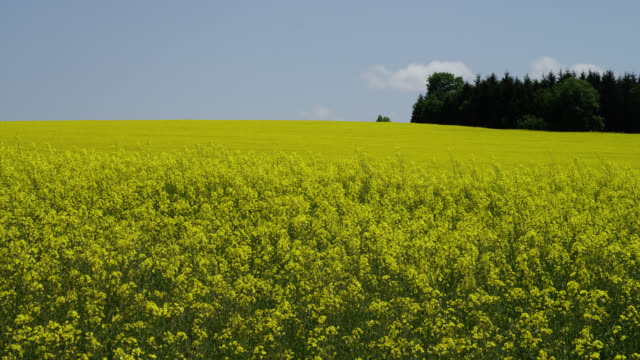 wide pan yellow mustard field with line of trees in background - mustard stock videos and b-roll footage