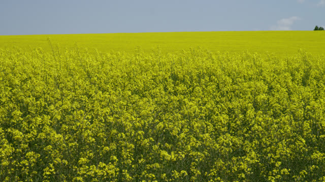 medium pan yellow mustard field with line of trees in background - mustard stock videos & royalty-free footage