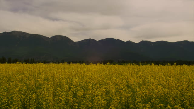 yellow mustard grows in a field in glacier national park. - glacier nationalpark stock-videos und b-roll-filmmaterial