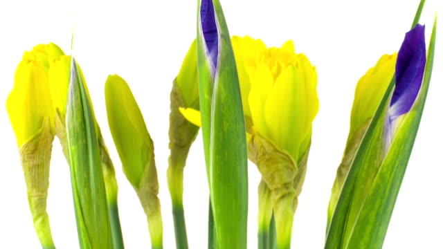 yellow narcissus time lapse - paperwhite narcissus stock videos & royalty-free footage