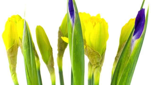 vídeos y material grabado en eventos de stock de amarillo narcissus time lapse - lirio