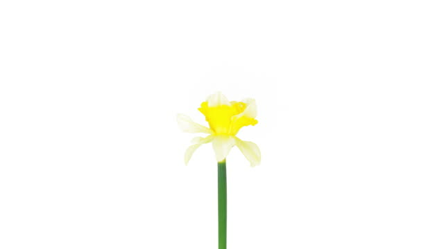 yellow narcissus; time lapse - daffodil stock videos and b-roll footage