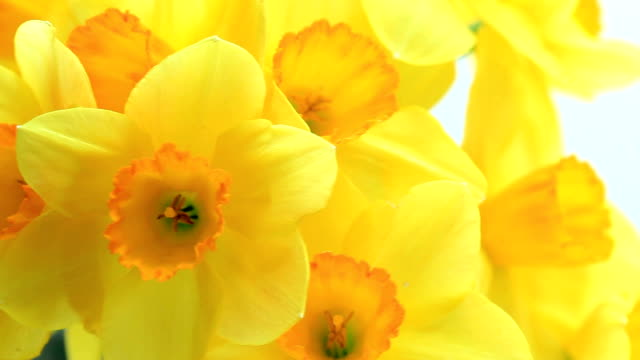 yellow narcissus - paperwhite narcissus stock videos & royalty-free footage