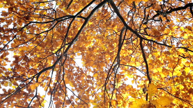 yellow oak leaves in autumn. - saturated colour stock videos & royalty-free footage
