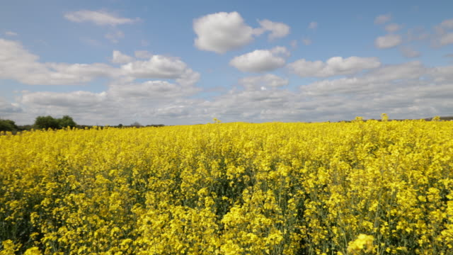 yellow oilseed rape plants - oilseed rape stock videos & royalty-free footage
