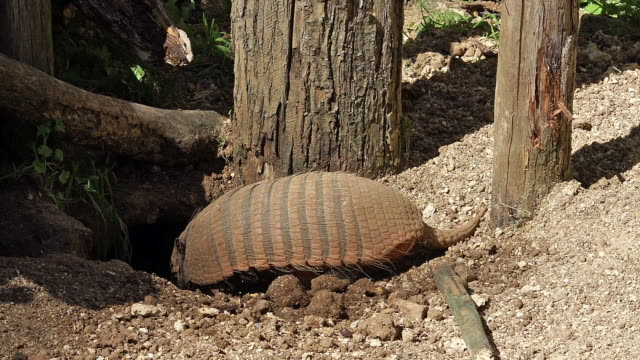 'Yellow or Six-banded Armadillo, euphractus sexcinctus, Adult digging Den, Real time'