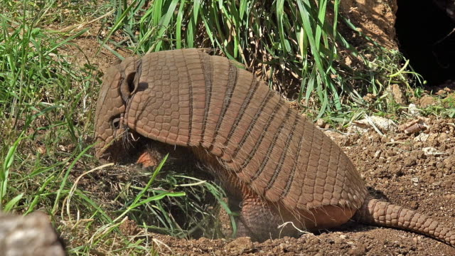'Yellow or Six-banded Armadillo, euphractus sexcinctus, Adult looking for Food, Real time'
