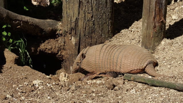 'Yellow or Six-banded Armadillo, euphractus sexcinctus, Adult standing at Den Entrance, Real time'