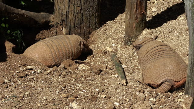 'Yellow or Six-banded Armadillo, euphractus sexcinctus, Pair standing at Den Entrance, Real time'