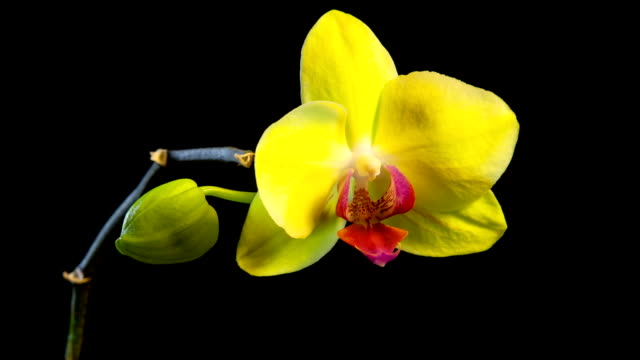 stockvideo's en b-roll-footage met yellow orchid time lapse - orchidee