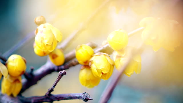 yellow osmanthus flower in bloom season - differential focus stock videos and b-roll footage