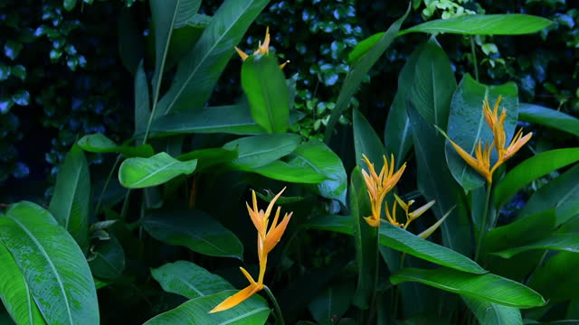yellow parrot heliconia or bird of paradise flowers with green leave ivy wall background - heliconia stock videos & royalty-free footage