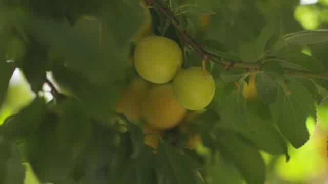 yellow plum on tree - plum stock videos & royalty-free footage
