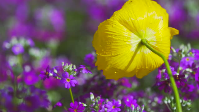 Yellow poppy flower against purple posies.