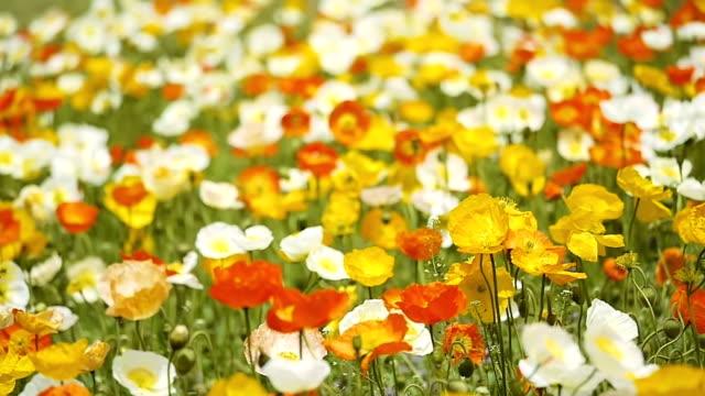Yellow poppy (selective focus)