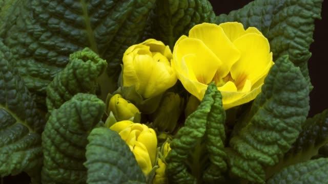 vídeos y material grabado en eventos de stock de primula amarilla blooming - flower head