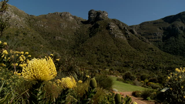 CU Yellow Protea flowers with green hills in background, Kirstenbosch National Botanical Garden, Cape Town, Western Cape Province, South Africa