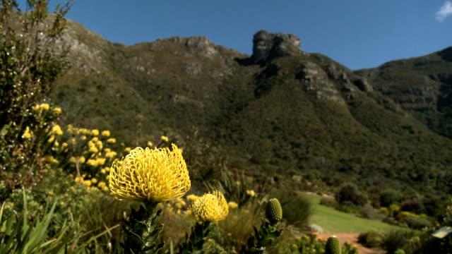 CU PAN Yellow Protea flowers with green hills in background, Kirstenbosch National Botanical Garden, Cape Town, Western Cape Province, South Africa