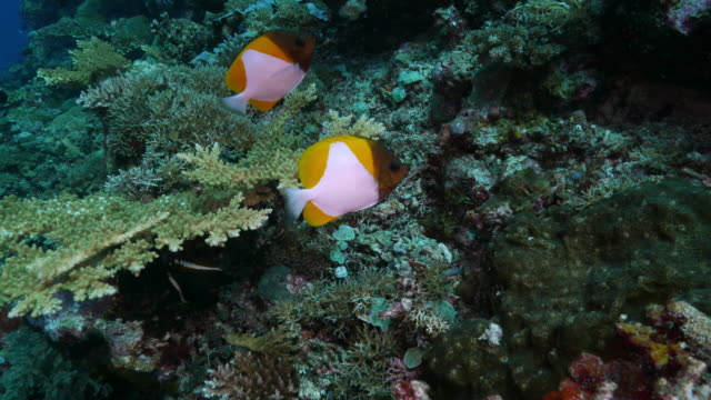yellow pyramid butterflyfish playing around the scuba diver - hemitaurichthys polylepis stock videos and b-roll footage