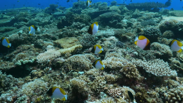 yellow pyramid butterflyfish schooling in coral reef, philippines - hemitaurichthys polylepis stock videos and b-roll footage