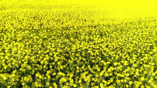 4k yellow rapeseed canola aerial video - rapeseed oil stock videos and b-roll footage