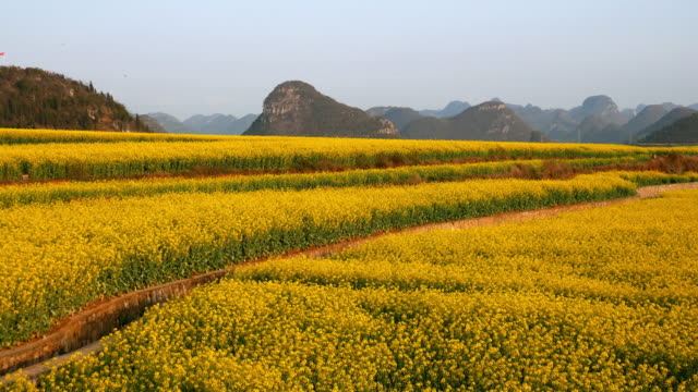 yellow rapeseed flower field in luoping, china - oilseed rape stock videos & royalty-free footage