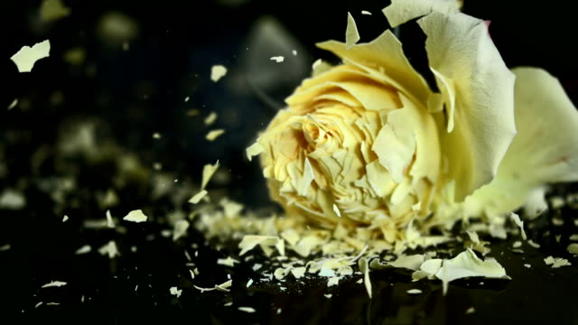 SLO MO Yellow rose blossom shattering on black surface