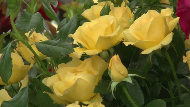 yellow rose chelsea flower show chelsea flower show at royal hospital chelsea on june 29 2010 in london england - chelsea flower show stock videos & royalty-free footage