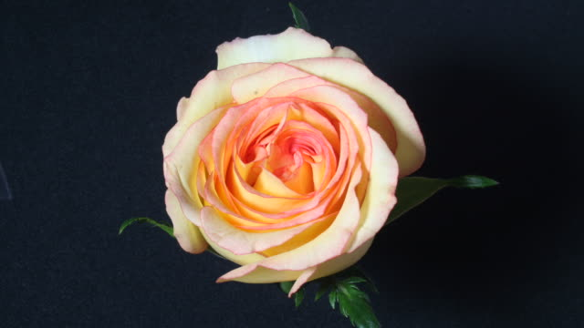 Yellow rose closing, black background, timelapse reversed.