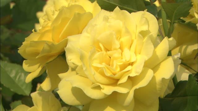 Yellow roses bloom.