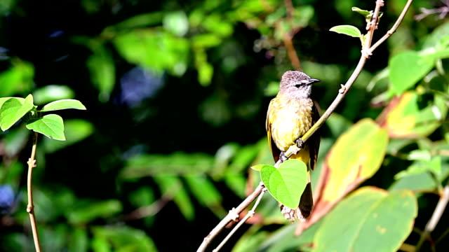 yellow rumped warbler. - warbler stock videos & royalty-free footage