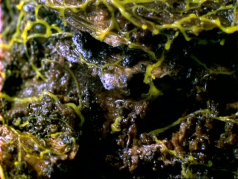 t/l yellow slime mould growth over log, pulsating, cu, panama. - protozoan stock videos and b-roll footage