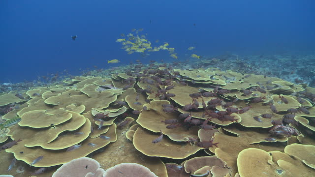 ms pov yellow snapper and soldier fish over lettuce coral / palau, micronesia, palau  - イットウダイ点の映像素材/bロール