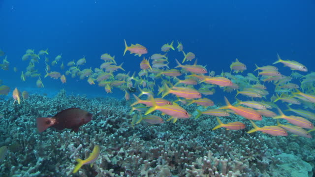 MS POV Yellow snapper over coral reef / Hawaii, United States