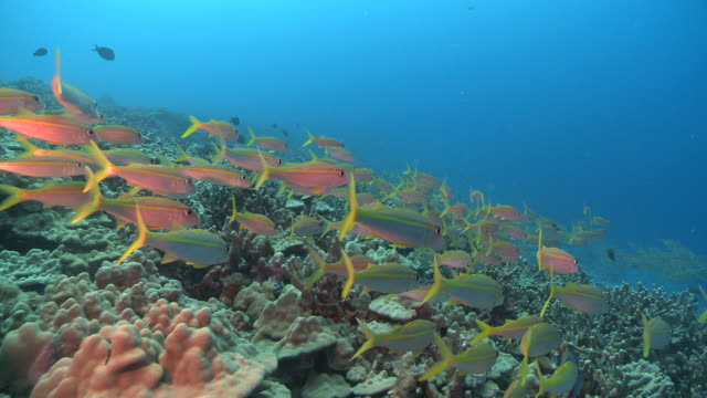 ms pov yellow snapper over coral reef / hawaii, united states - reef stock videos & royalty-free footage