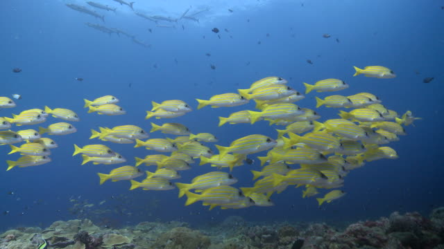 MS TS Yellow snapper school on reef / Palau, Micronesia, Palau