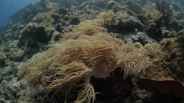 yellow soft coral colonies, undersea, indonesia - soft coral stock videos & royalty-free footage