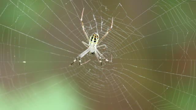 vidéos et rushes de araignée jaune aurantia bruennichi en ligne - araignée
