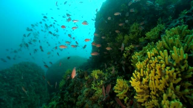 Yellow sponge with mediterranean Anthias red fish