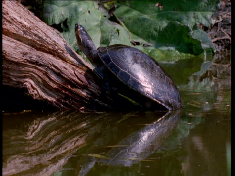 vídeos de stock e filmes b-roll de yellow spotted river turtle on log dives into water, south america - tartaruga