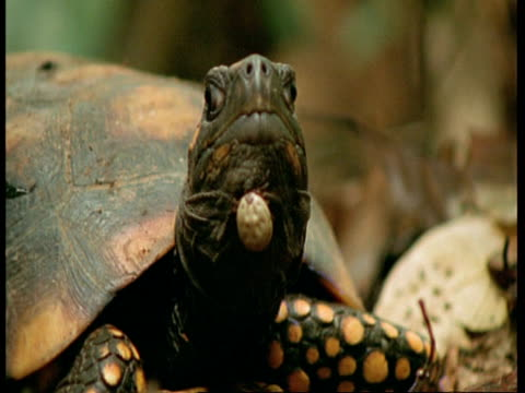 vidéos et rushes de cu yellow spotted turtle turns head to camera, tick on chin, amazon, south america - animal microscopique
