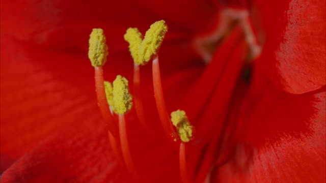Yellow stamen extend from the middle of a red flower. Available in HD.