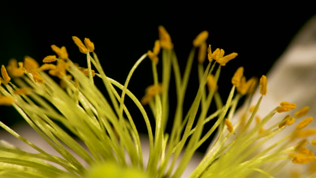 yellow stamen time lapse - stamen stock videos and b-roll footage