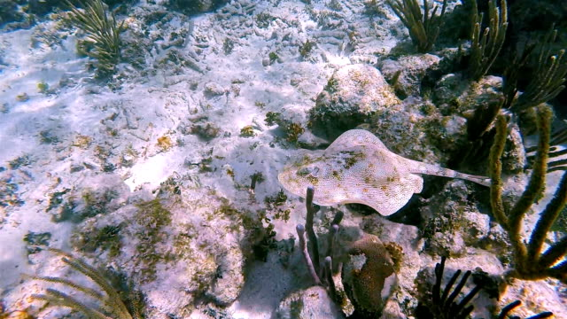 yellow stingray or jamaica stingray ( urobatis jamaicensis ) in caribbean sea - akumal bay - riviera maya / cozumel , quintana roo , mexico - caribbean sea stock videos & royalty-free footage