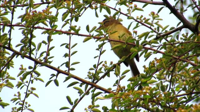 yellow streaked warbler - warbler stock videos & royalty-free footage